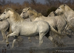 camargue-white-horses1131-camargue-copyright-photographers-on-safari-com