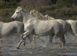 camargue-white-horses1134-camargue-copyright-photographers-on-safari-com