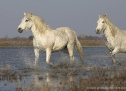 camargue-white-horses1144-camargue-copyright-photographers-on-safari-com