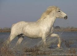 camargue-white-horses1146-camargue-copyright-photographers-on-safari-com