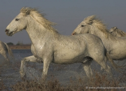 camargue-white-horses1148-camargue-copyright-photographers-on-safari-com