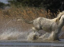 camargue-white-horses1153-camargue-copyright-photographers-on-safari-com