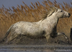 camargue-white-horses1154-camargue-copyright-photographers-on-safari-com