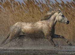camargue-white-horses1156-camargue-copyright-photographers-on-safari-com