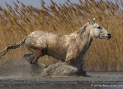 camargue-white-horses1157-camargue-copyright-photographers-on-safari-com