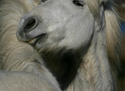 camargue-white-horses1160-camargue-copyright-photographers-on-safari-com