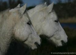 camargue-white-horses1161-camargue-copyright-photographers-on-safari-com