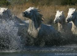 camargue-white-horses1164-camargue-copyright-photographers-on-safari-com