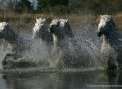 camargue-white-horses1167-camargue-copyright-photographers-on-safari-com