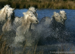 camargue-white-horses1168-camargue-copyright-photographers-on-safari-com