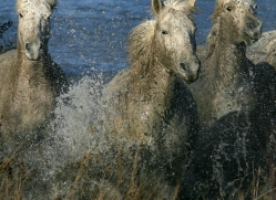 camargue-white-horses1170-camargue-copyright-photographers-on-safari-com