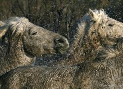 camargue-white-horses1176-camargue-copyright-photographers-on-safari-com
