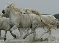 camargue-white-horses1187-camargue-copyright-photographers-on-safari-com