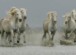 camargue-white-horses1188-camargue-copyright-photographers-on-safari-com