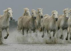 camargue-white-horses1189-camargue-copyright-photographers-on-safari-com