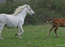 camargue-white-horses1193-camargue-copyright-photographers-on-safari-com