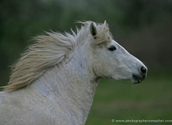 camargue-white-horses1195-camargue-copyright-photographers-on-safari-com