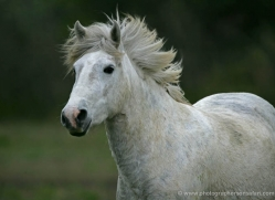 camargue-white-horses1196-camargue-copyright-photographers-on-safari-com