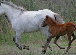camargue-white-horses1197-camargue-copyright-photographers-on-safari-com