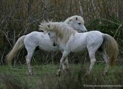 camargue-white-horses1198-camargue-copyright-photographers-on-safari-com