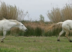 camargue-white-horses1200-camargue-copyright-photographers-on-safari-com