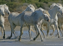 camargue-white-horses1201-camargue-copyright-photographers-on-safari-com