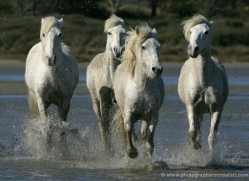 camargue-white-horses1203-camargue-copyright-photographers-on-safari-com