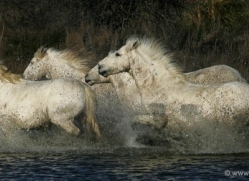 camargue-white-horses1209-camargue-copyright-photographers-on-safari-com