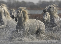 camargue-white-horses1216-camargue-copyright-photographers-on-safari-com