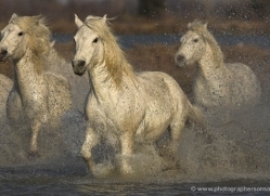 camargue-white-horses1218-camargue-copyright-photographers-on-safari-com