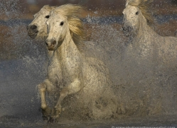 camargue-white-horses1220-camargue-copyright-photographers-on-safari-com