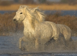 camargue-white-horses1221-camargue-copyright-photographers-on-safari-com
