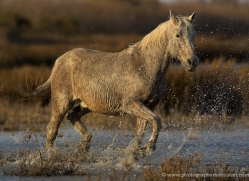 camargue-white-horses1222-camargue-copyright-photographers-on-safari-com