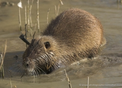 coypu-1106-camargue-copyright-photographers-on-safari-com