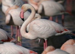 flamingo-1089-camargue-copyright-photographers-on-safari-com