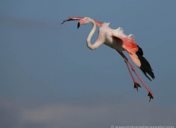 flamingo-1092-camargue-copyright-photographers-on-safari-com