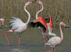 flamingo-1100-camargue-copyright-photographers-on-safari-com