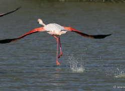flamingo-1101-camargue-copyright-photographers-on-safari-com