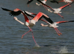 flamingo-1102-camargue-copyright-photographers-on-safari-com