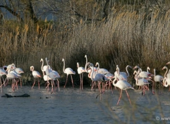 flamingo-1104-camargue-copyright-photographers-on-safari-com