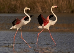 flamingo-copyright-photographers-on-safari-com-8325