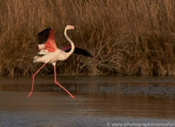 flamingo-copyright-photographers-on-safari-com-8327