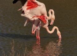 flamingo-copyright-photographers-on-safari-com-8328