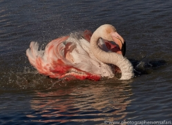 flamingo-copyright-photographers-on-safari-com-8330