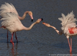 flamingo-copyright-photographers-on-safari-com-8331