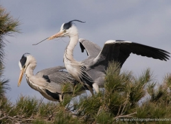 grey-heron-1031-camargue-copyright-photographers-on-safari-com