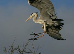 grey-heron-1034-camargue-copyright-photographers-on-safari-com