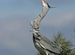 grey-heron-1036-camargue-copyright-photographers-on-safari-com