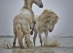 grey-heron-1057-camargue-copyright-photographers-on-safari-com