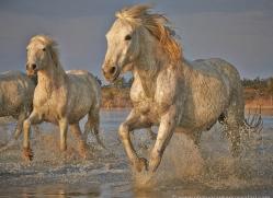 grey-heron-1069-camargue-copyright-photographers-on-safari-com